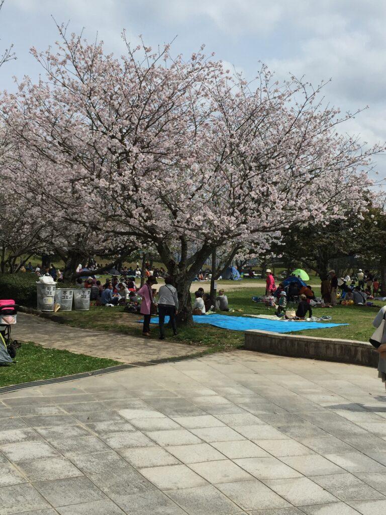福岡市西区小戸公園の桜の木の画像